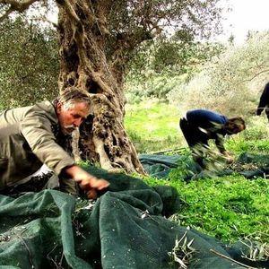 Patima olive oil