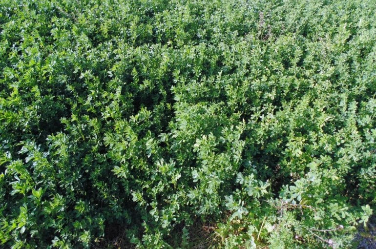How and When to harvest Alfalfa