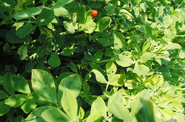 Alfalfa Plant Information