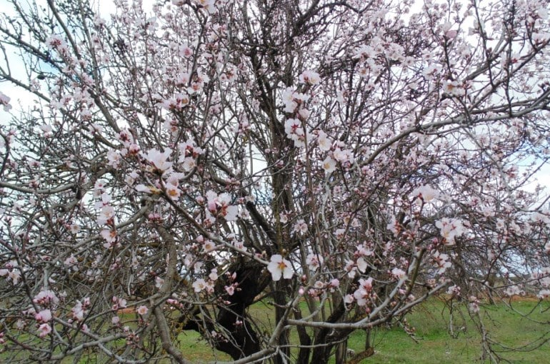 Almond Tree Climate Conditions