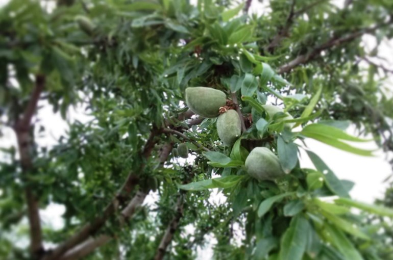 How and when to harvest Almond Trees