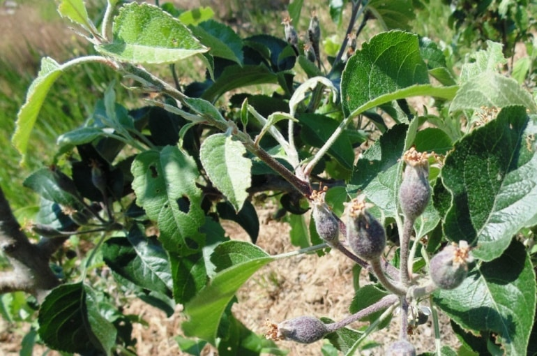 Apple Tree Diseases and Pests