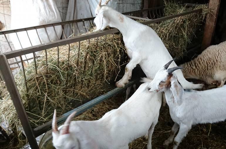 Goat Care Basics
