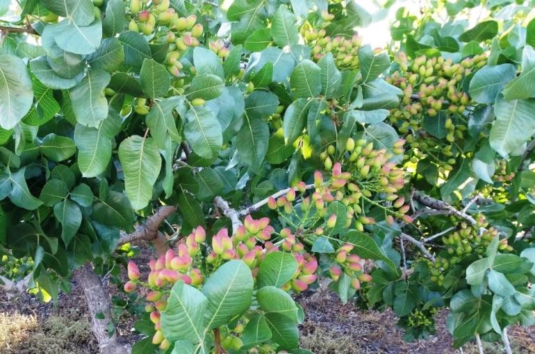 زراعة شجرة الفستق الحلبي - Wikifarmer