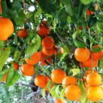How to start an Orange Orchard