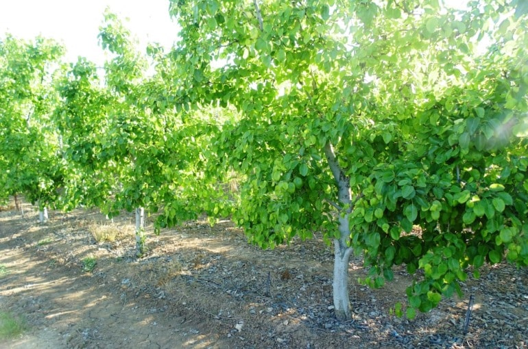 How to grow Professionally Pear Trees