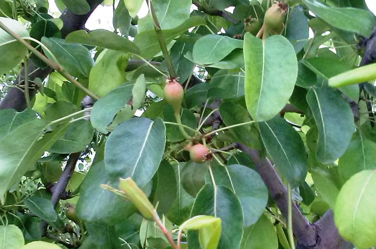 How to grow Pear Trees in containers