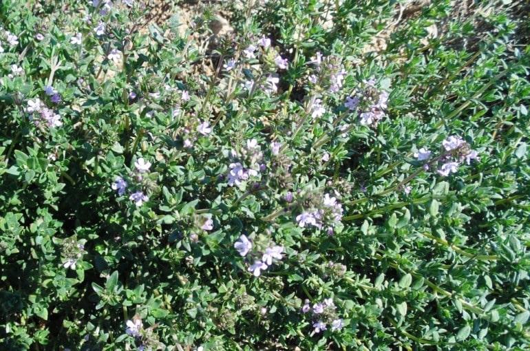 Growing Backyard Thyme