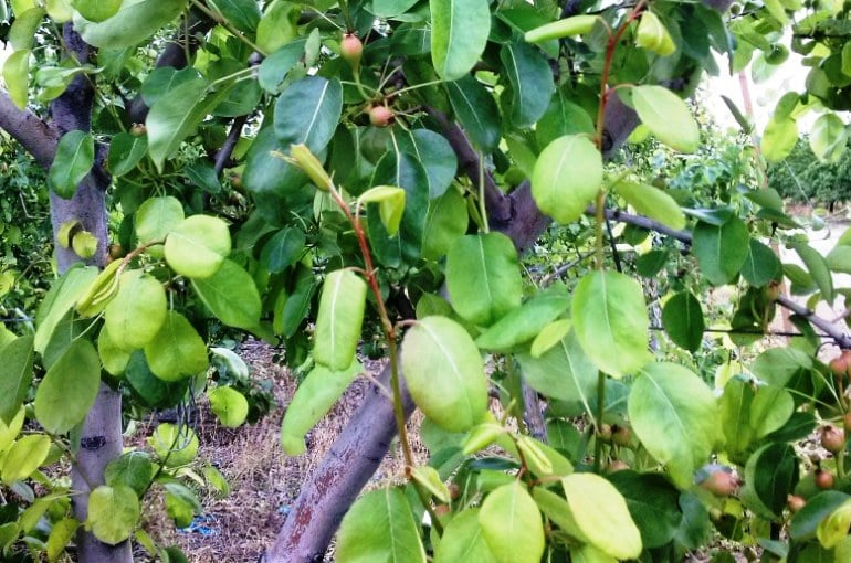 Pear Tree Climate Requirements