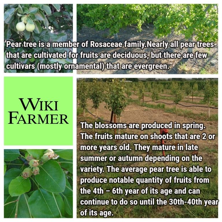 Pear Tree Information - Wikifarmer