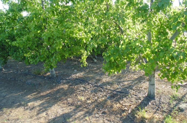 Pear Tree Soil Requirements and Preparation