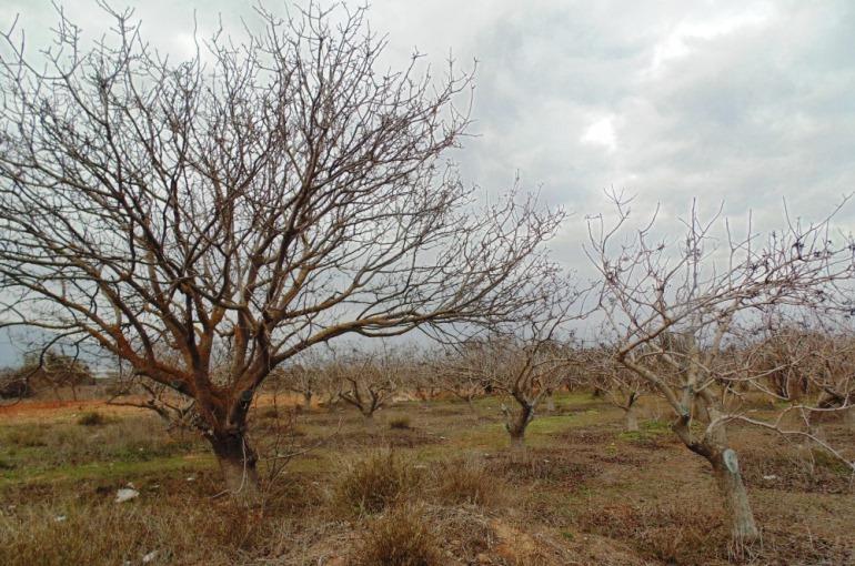 How to plant Pistachio Trees