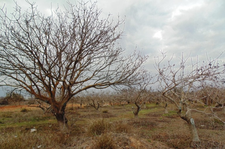 Pistachio Tree Soil Requirements