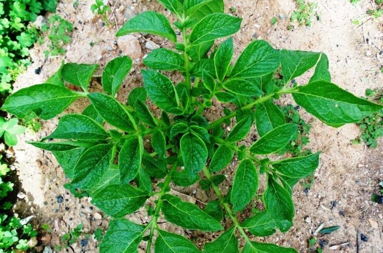 Potato Plant Info & Uses