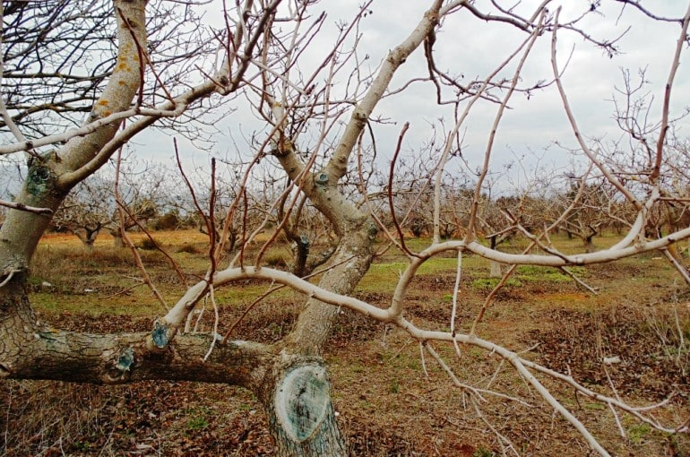 How to train and prune Pistachio Trees