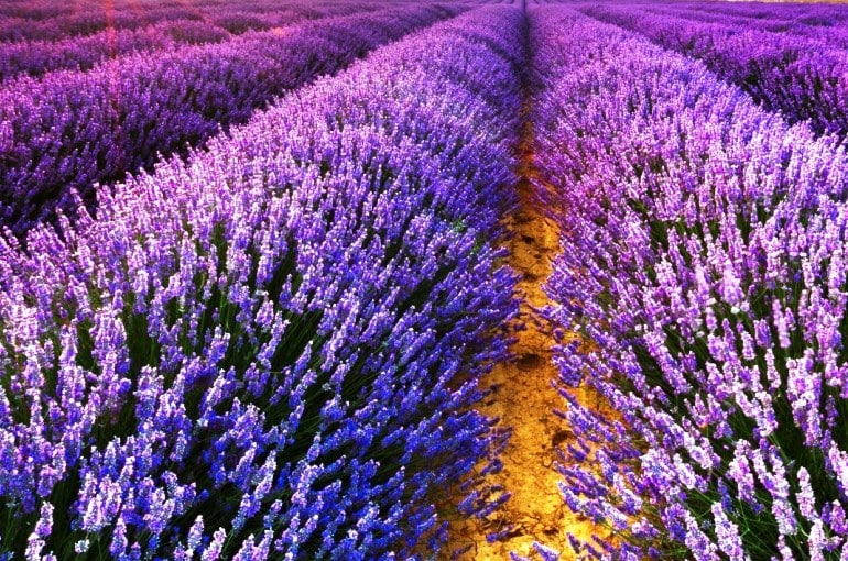 Commercial Cultivation of Lavender