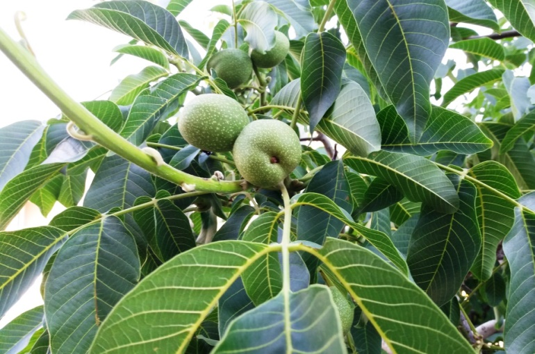 Walnut Tree Info and Uses
