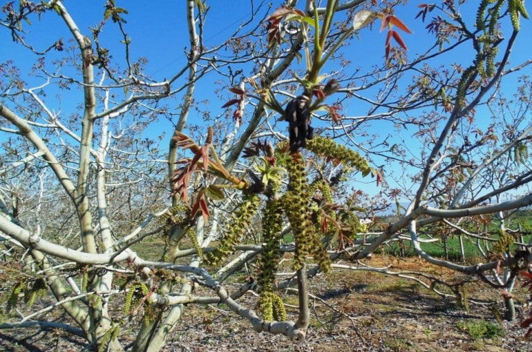 How to plant Walnut Trees