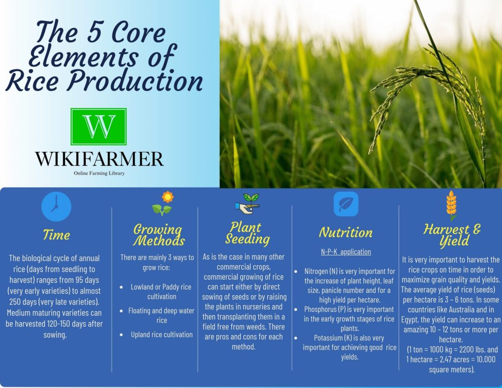 How To Grow Rice Rice Complete Growing Guide From Seeding To Harvest Wikifarmer