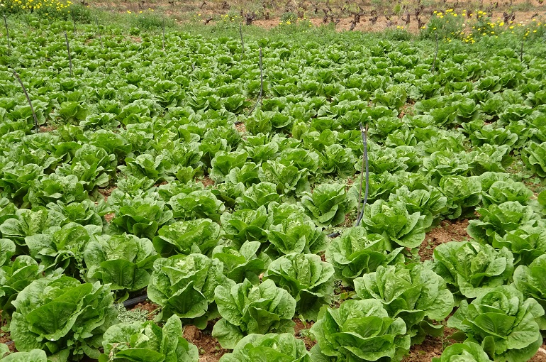 How To Grow Lettuce Lettuce Complete Growing Guide From Seeding