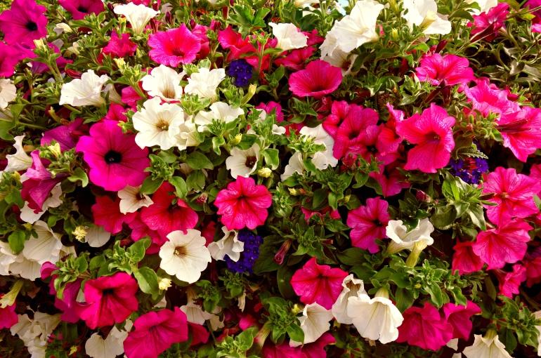Petunia Plant Information Wikifarmer