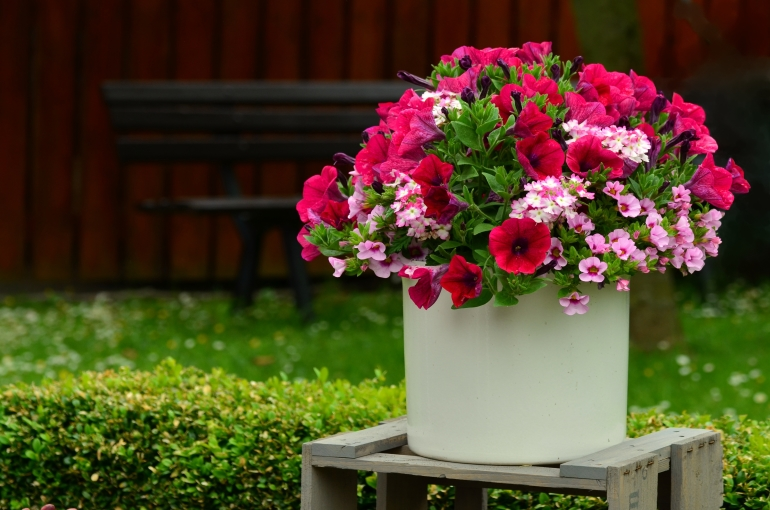 How To Grow Petunias At Home Care Of Petunias Wikifarmer