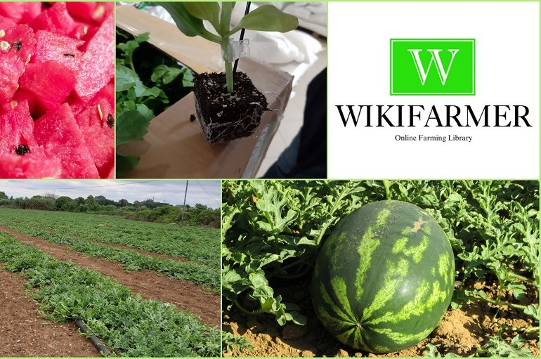Growing Watermelons For Profit Complete Growing Guide From Start To Finish Wikifarmer